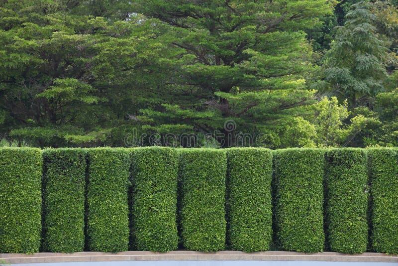Grön topiaryvägg för att avskilja och att zonplanera trädgården till olikt rum och nytto- avsikt royaltyfria foton