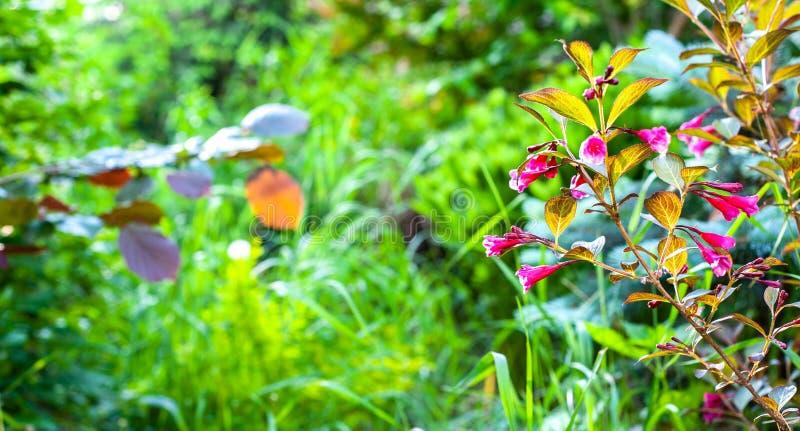 Grön trädgårdbakgrund för sommar med den saftiga gröna och blommande röda Weigelakvisten royaltyfria foton