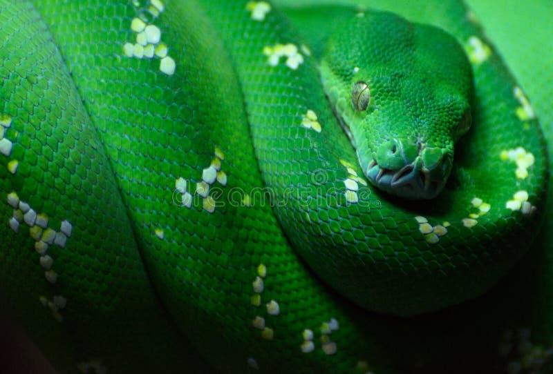 Grön trädpython Morelia viridis närmar sig fotografering för bildbyråer