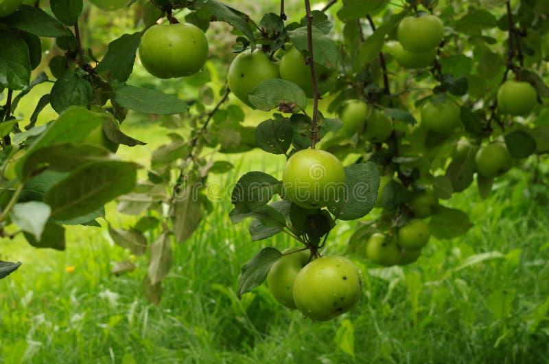 grön tree för äpplen arkivfoto