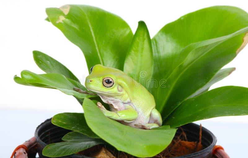 grön tree för grodor arkivfoton