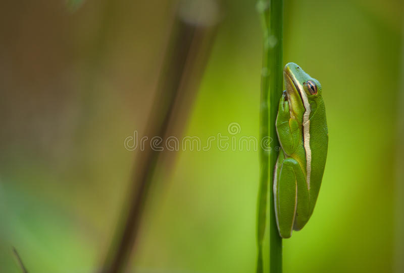 grön treefrog royaltyfri fotografi