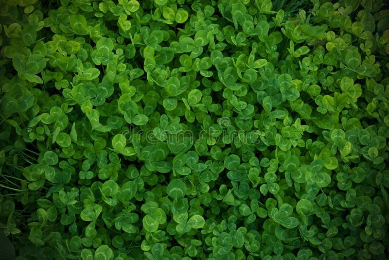 Grön treklöver för bakgrund, ny färg, treklöverväxt royaltyfri bild