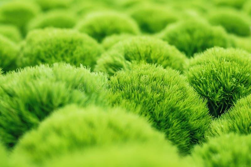 Grön trickdianthusväxt royaltyfri bild