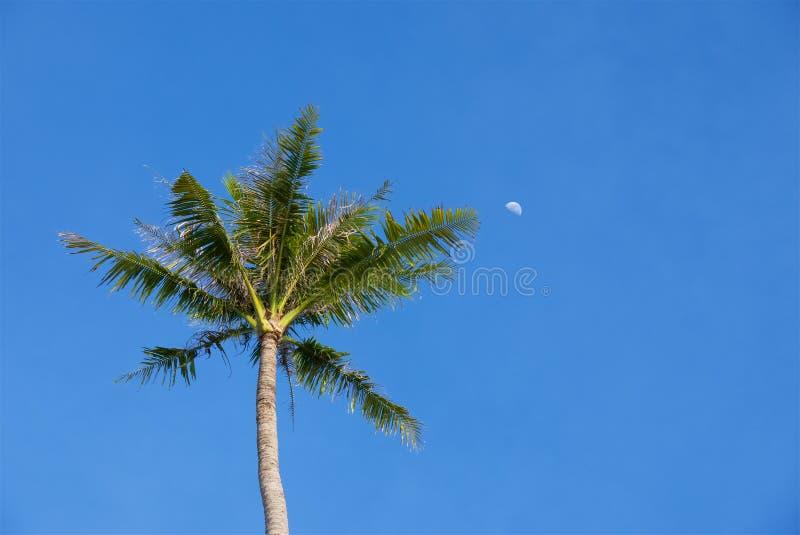 Grön tropisk palmträd och måne mot en blå himmel royaltyfri bild