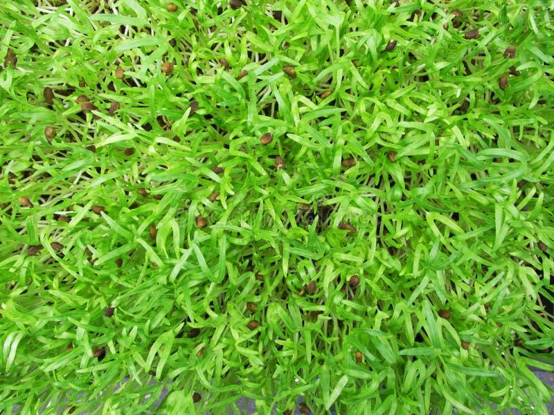 Grön ung solrosgrodd royaltyfria bilder