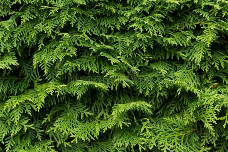 Grön vägg av cupressusträdet som bakgrund, textur naturlig wallpaper Closeup av cupressusträdet arkivbilder