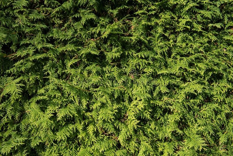 Grön vägg av cupressusträdet som bakgrund, textur naturlig wallpaper Closeup av cupressusträdet arkivfoton
