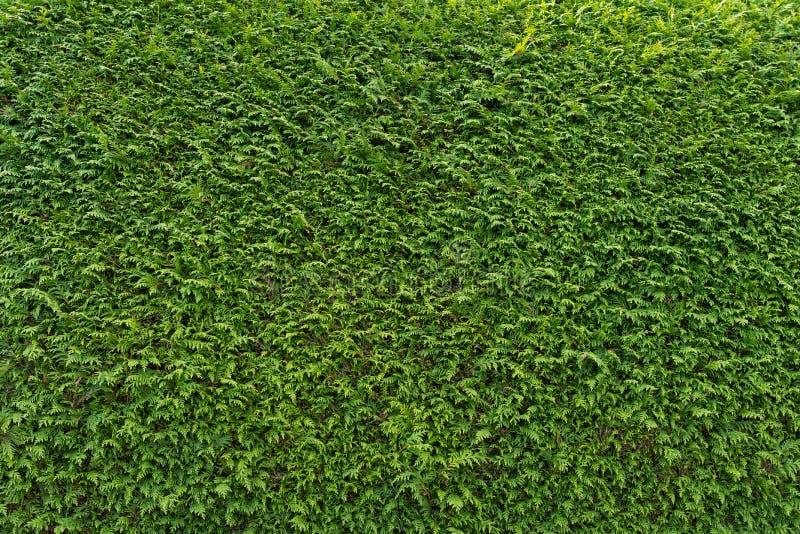 Grön vägg av cupressusträdet som bakgrund, textur naturlig wallpaper Closeup av cupressusträdet royaltyfri fotografi