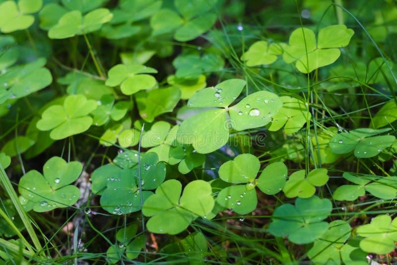 Grön växt av släktet Trifolium med droppar av dagg på naturen royaltyfri fotografi