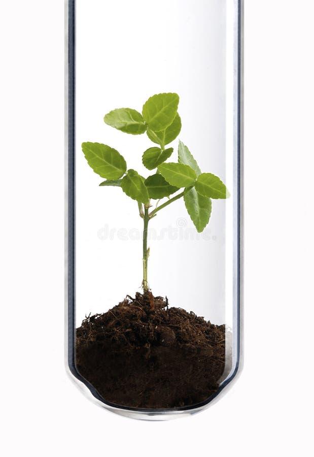 Grön växt i provrör royaltyfri foto