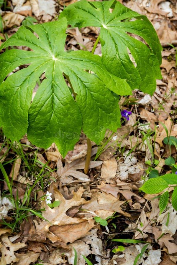 Grön växt i skogen royaltyfri foto