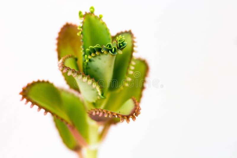 Grön växt på vit bakgrund arkivbilder