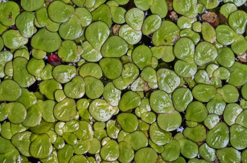 Grön vatten- bladtextur arkivfoto