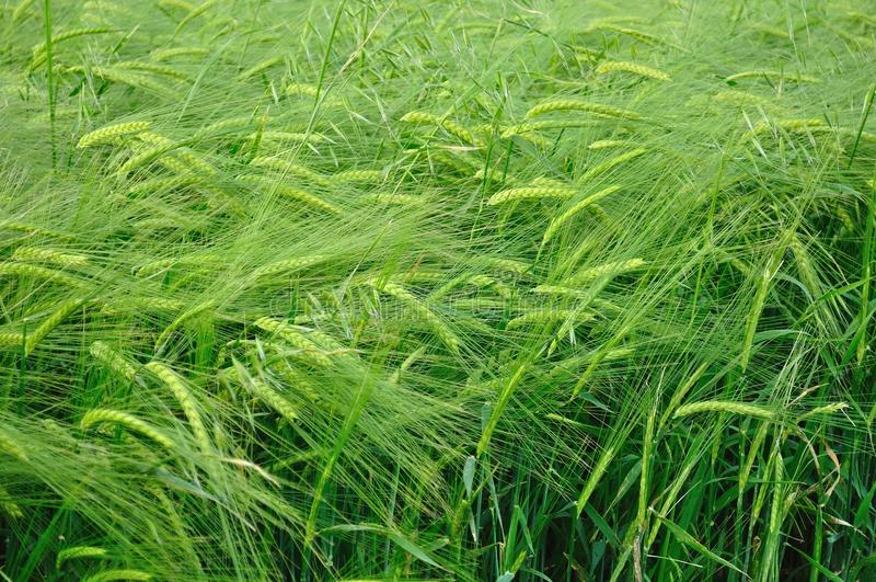 Grön vetetextur royaltyfria foton