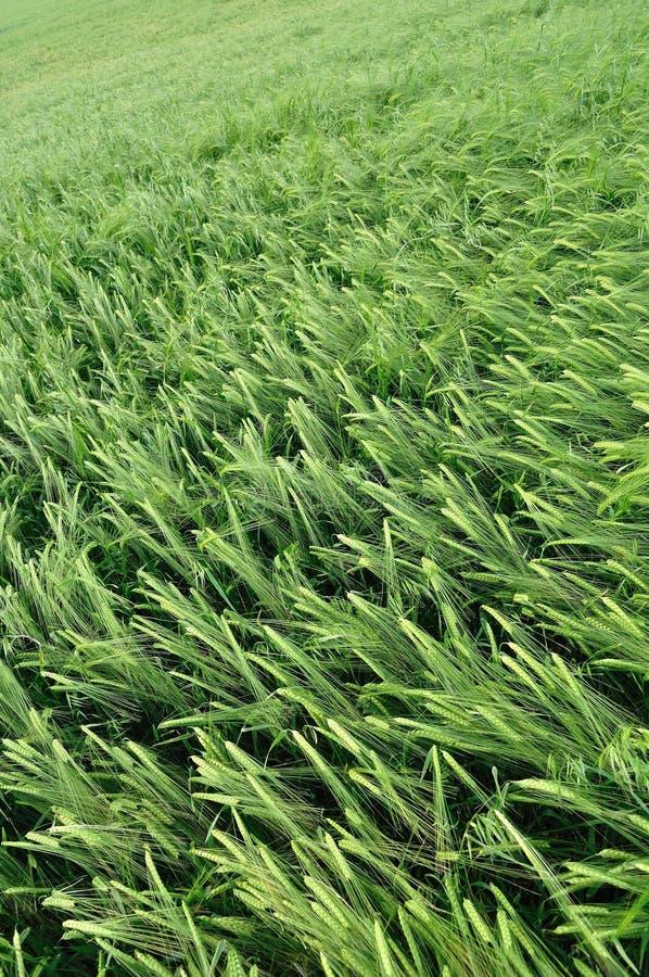 Grön vetetextur arkivbild