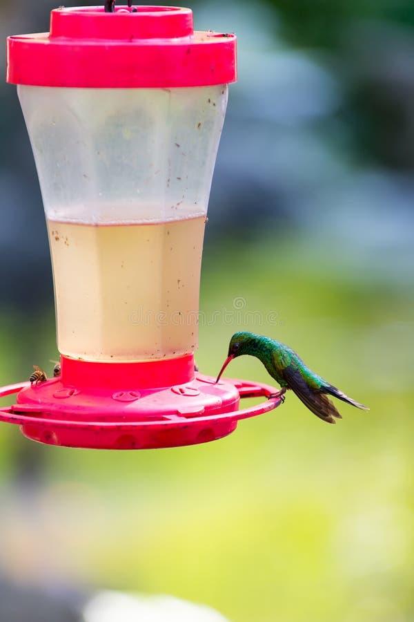 Grön Violetear kolibri royaltyfri fotografi