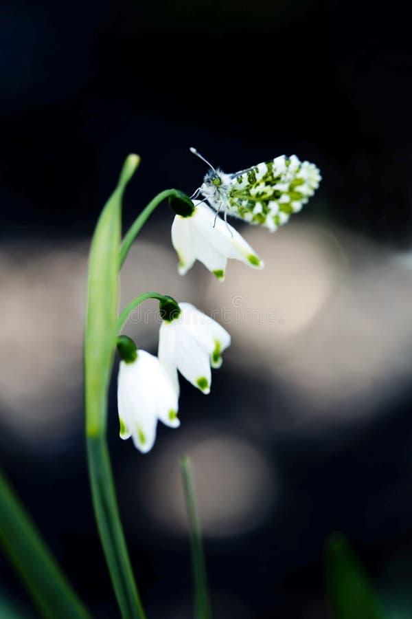 grön white för fjäril royaltyfri foto
