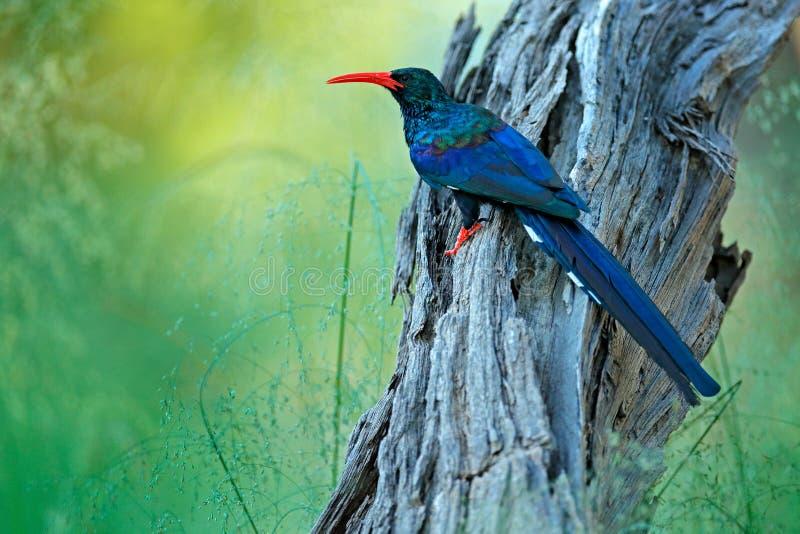 Grön Wood hoopoe, Phoeniculuspurpureus, fågelfamilj i naturlivsmiljön Djur som sitter i trädstammen, en fågelfluga wild arkivfoton