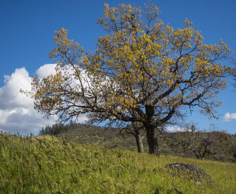 Gröna ängar på berg med ekar fotografering för bildbyråer
