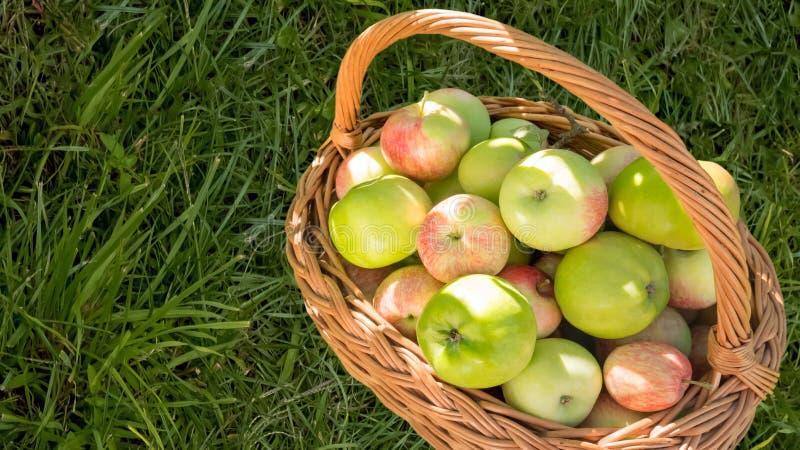 Gröna äpplen i korg på bakgrund för grönt gräs arkivbilder