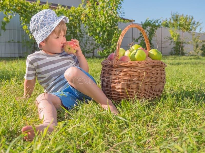 Gröna äpplen i korgen på grönt gräs Organiska ?pplen i korgen p? gr?nt gr?s Vinranka från frukter Mat och royaltyfria bilder