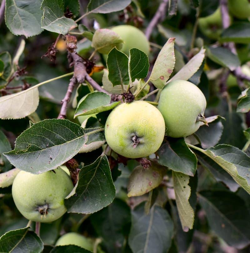 Gröna äpplen i gröna sidor på en trädfilial royaltyfri foto