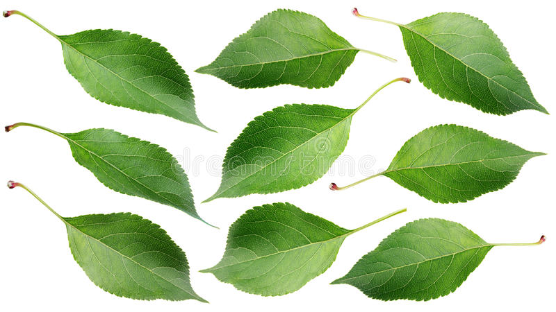 Gröna äpplesidor på vit royaltyfri fotografi