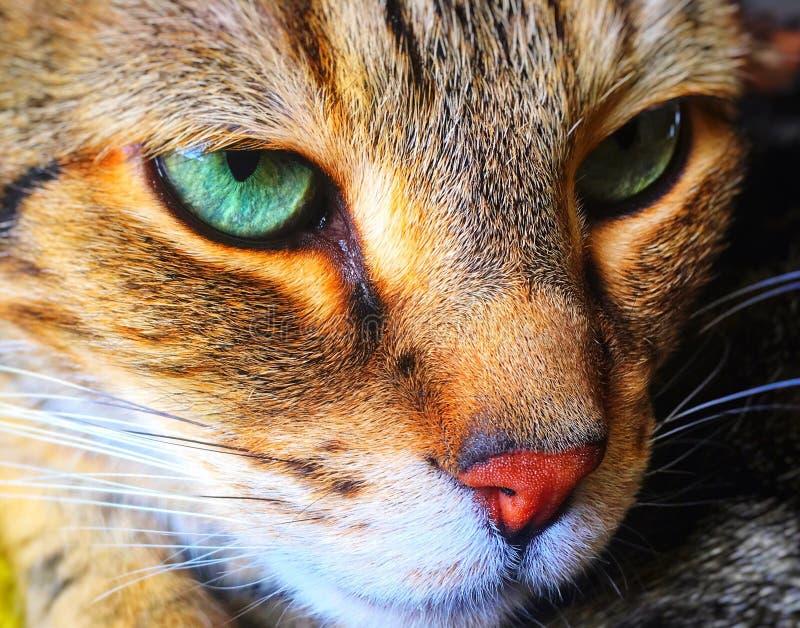 Gröna är ögonen av den majestätiska katten royaltyfri bild