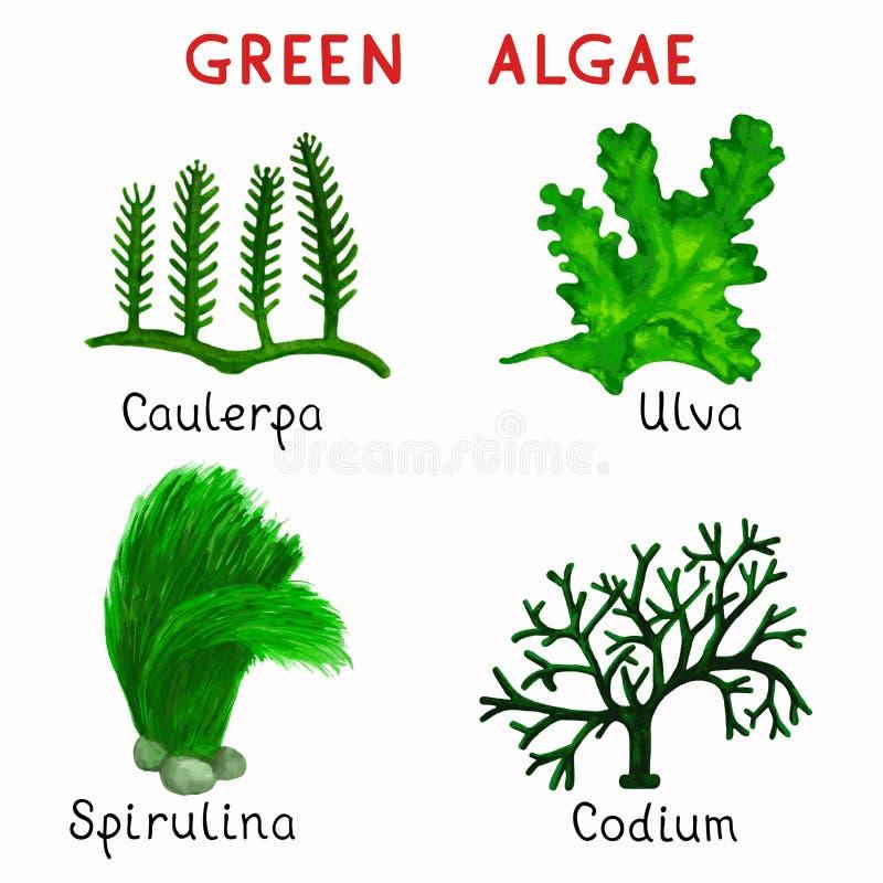 Gröna alger royaltyfri illustrationer