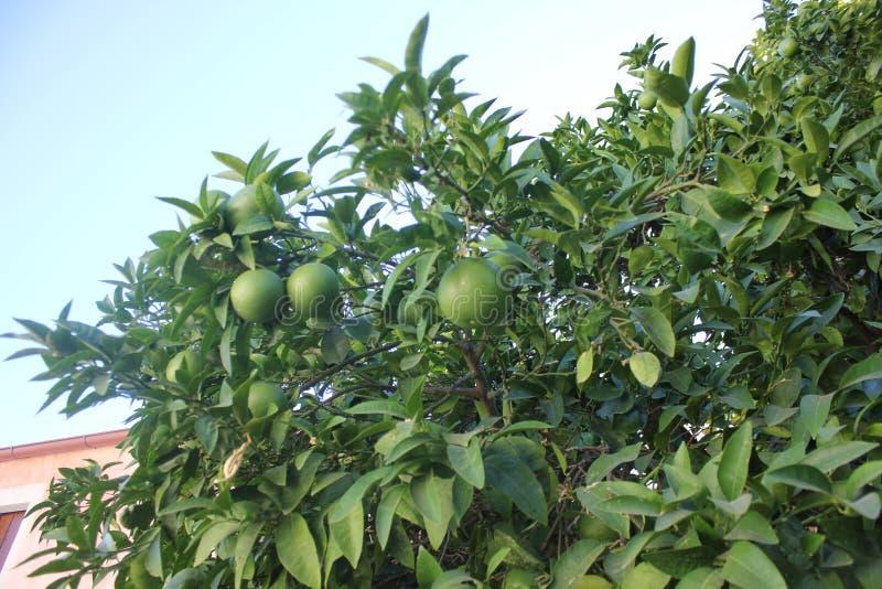 gröna apelsiner royaltyfri foto