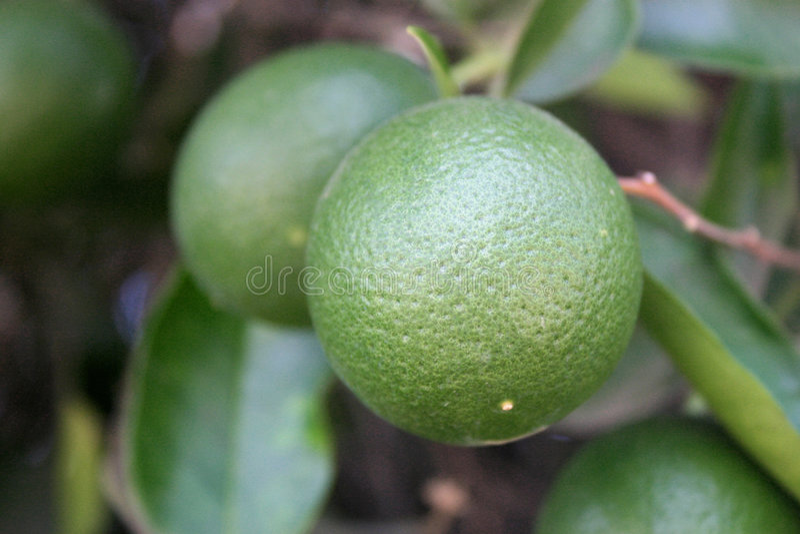 Gröna Apelsiner Arkivfoto