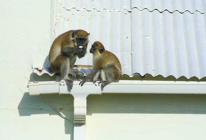 Gröna apor som äter ägget på taket royaltyfria bilder