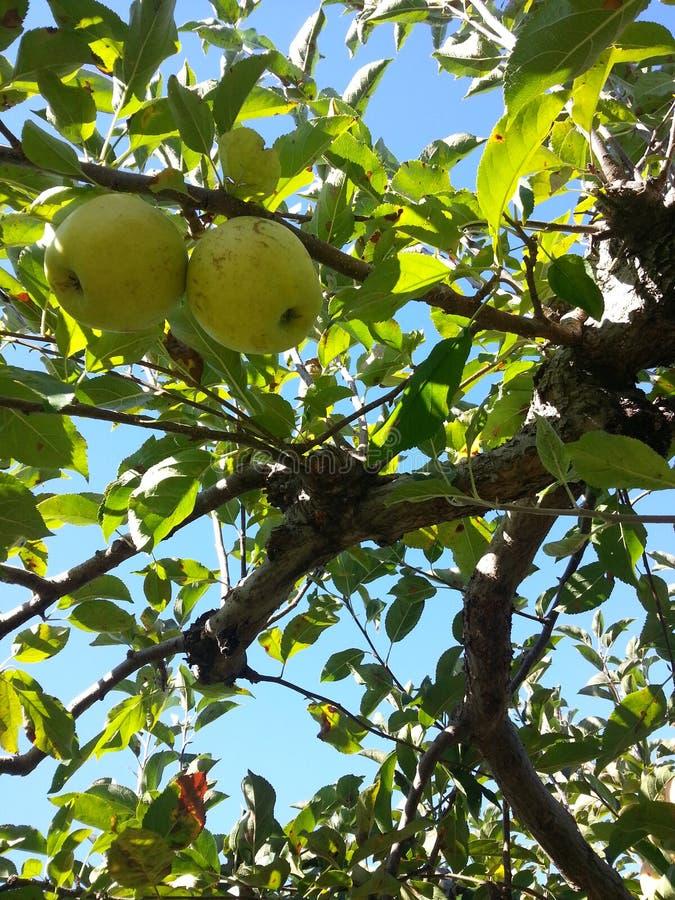 Gröna Apple i fruktträdgård under Autumn Fall Season fotografering för bildbyråer