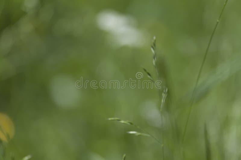 Gröna bakgrunder för natur för textur för suddighet för änggräs arkivbild