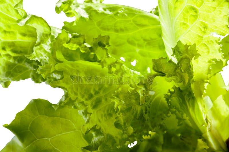 Gröna Batavia salladsidor på vit fotografering för bildbyråer