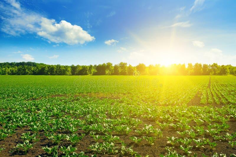 Gröna betafält och blå himmel arkivbilder