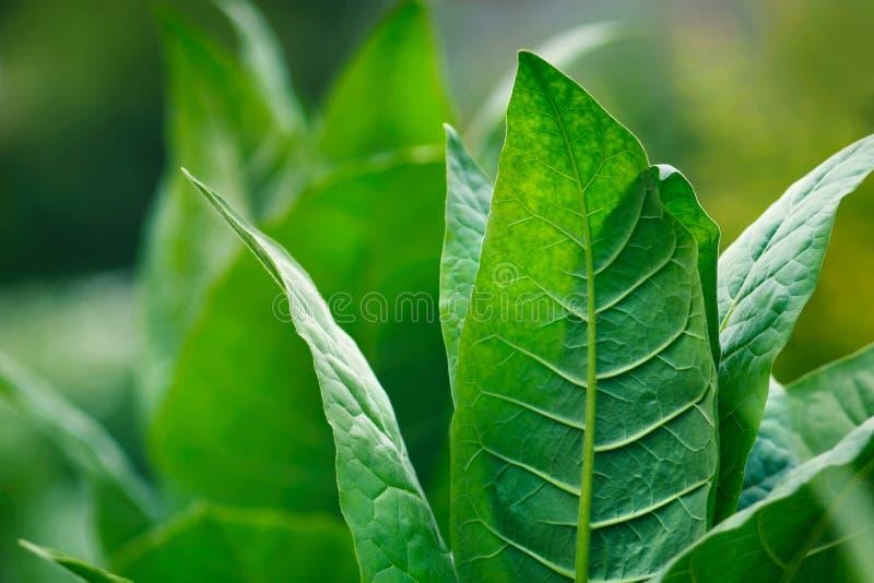 Gröna blad för tobak arkivbild