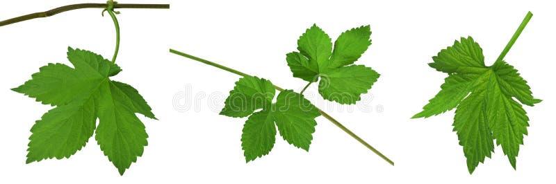 Gröna bladflygturer Närbild isolerat utan en skugga _ I fotografering för bildbyråer