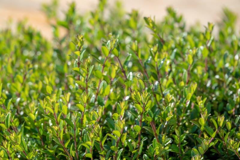 Gröna buskar med klippte filialer och unga sidor royaltyfri fotografi