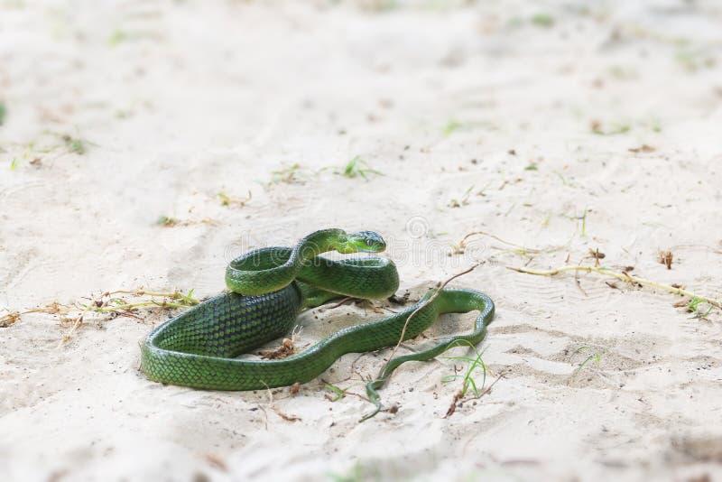 Gröna Cat Snake på stranden, bondvischadjur i Thailand arkivbild