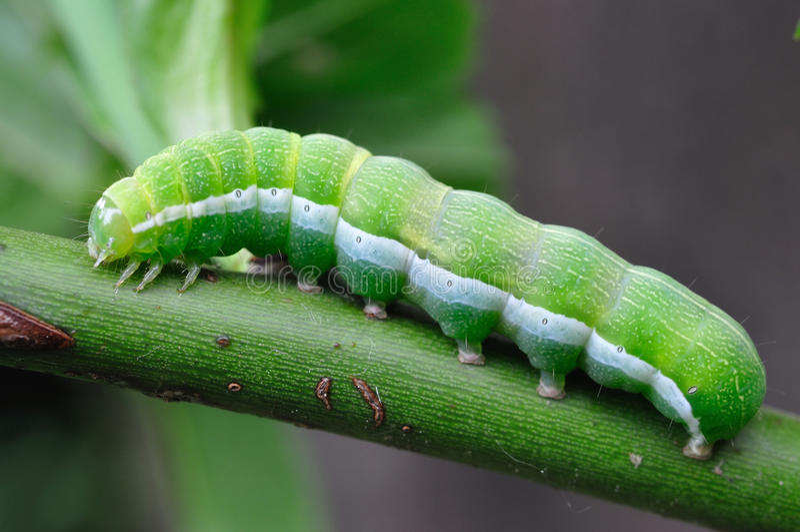 Gröna Caterpillar royaltyfri foto