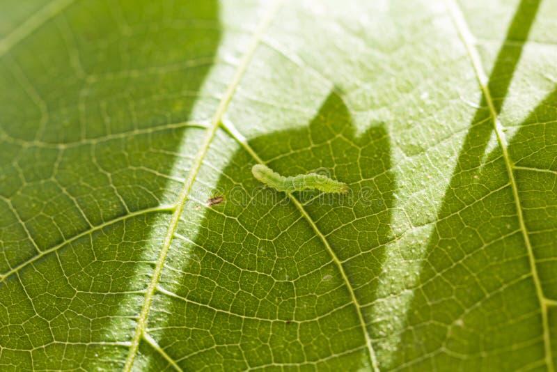 Gröna Caterpillar royaltyfria bilder