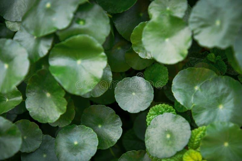 Gröna Centella asiatica Centella, asiatisk pennywort eller Gotu kola och mintkaramellsidor i trädgården under solljuset arkivfoto
