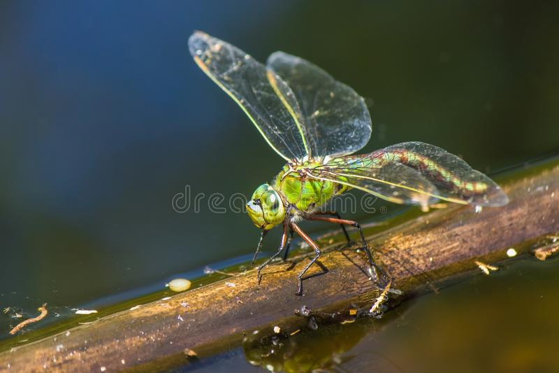 Gröna Dragonflyin ett damm royaltyfri fotografi
