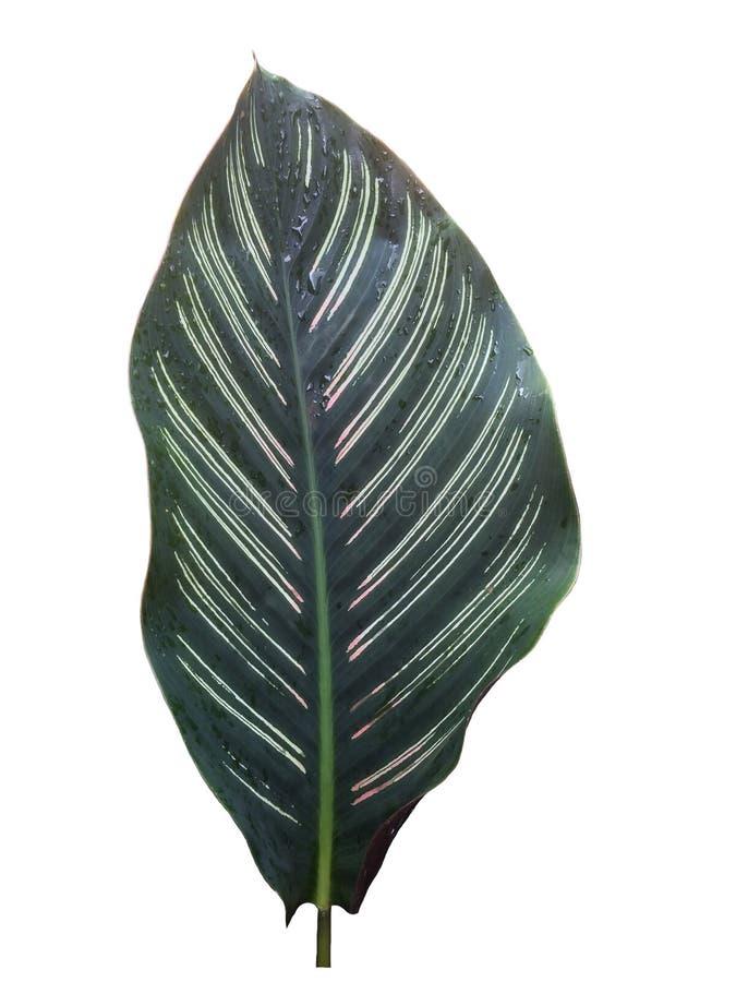 Gröna droppar för för bladcalatheamajestica som och regn isoleras på vit bakgrund arkivfoton