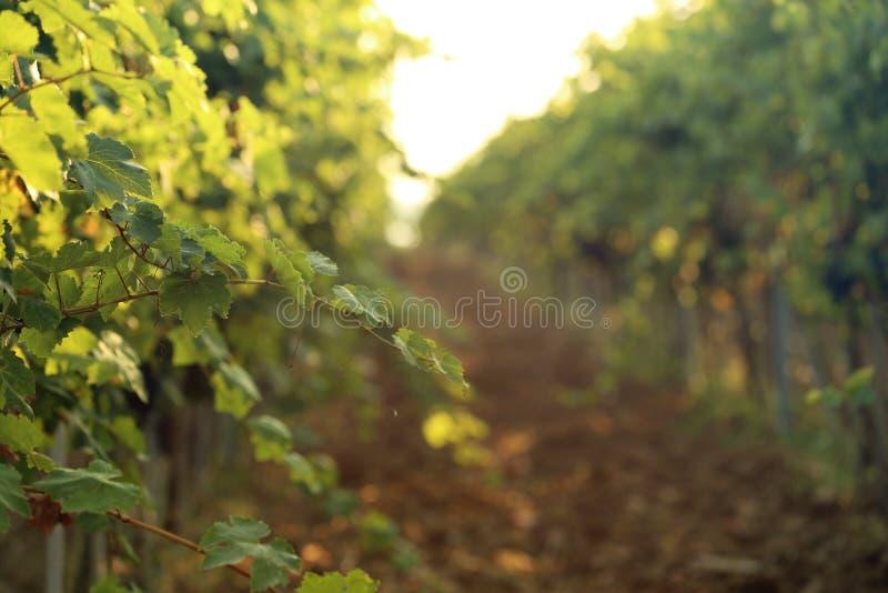 Gröna druvavinrankor som växer i vingård fotografering för bildbyråer