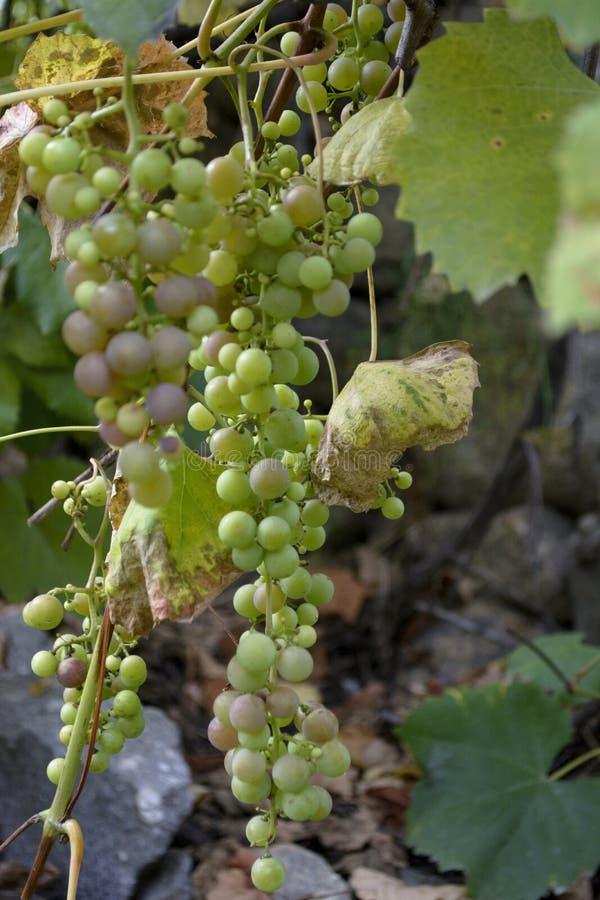 Gröna druvor är söta och smakliga och är van vid gör vitt vin arkivbilder