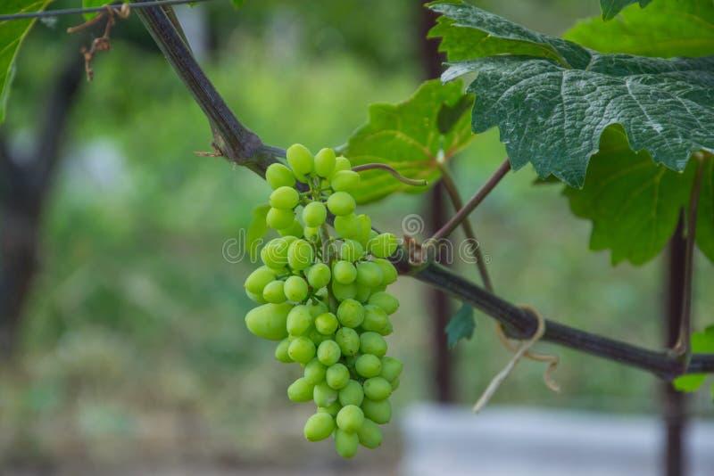 Gröna druvor blommar och arbeta i trädgården vegetation royaltyfria foton