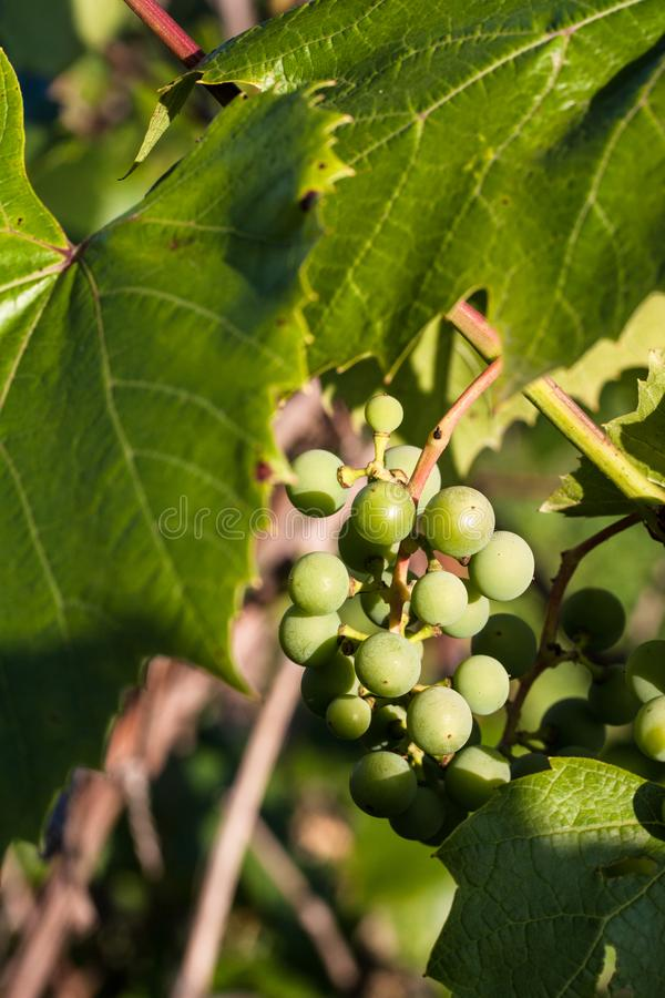 Gröna druvor på en filial under solen arkivbilder